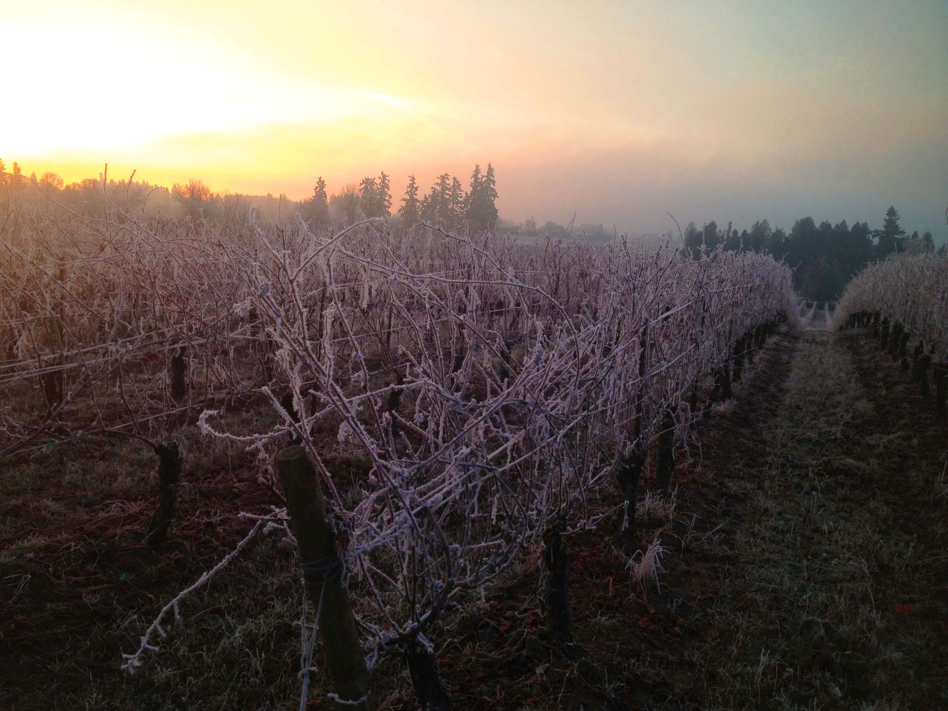 frost-vineyard